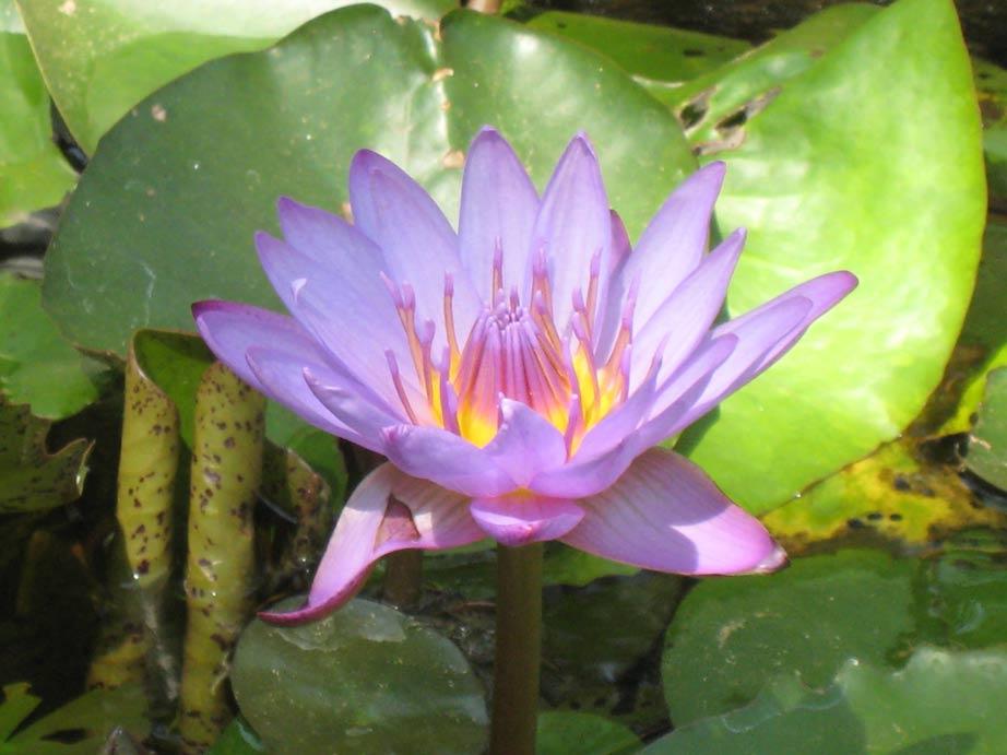 der Lotus der sanftheit